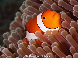 False_Clown Anemonefish shot off Tulamben. by Kandace Heimer