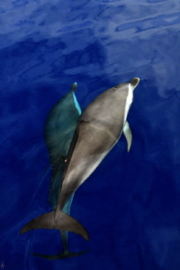 Pan tropical Spotted Dolphin from the bow of the boat by Arun Madisetti