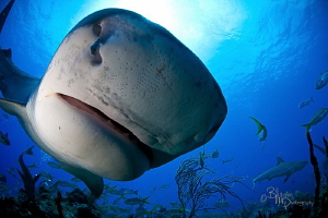 My first encounter with Emma the tiger shark by Bill Mcgee
