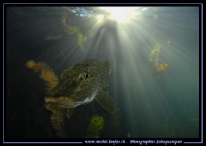 Pike Fish in the sunlight... :O)... by Michel Lonfat