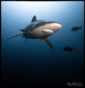 Joker.  A frequent visitor to the reefs of the Beqa Chann... by Sam Cahir