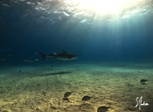 Tiger Shark disappears into the sunset at Tiger Beach - B... by Steven Anderson