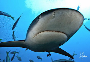 In your face with a bit of Reef Shark. These sharks have ... by Steven Anderson