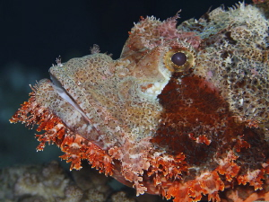 Scorpion fish taken with Canon macro lens EF 100mm. by Charly Kotnik