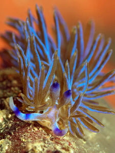 Pteraeolidia ianthina, Shark Point by Doug Anderson