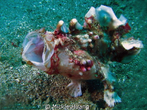 ROAR Frogfish Anilao the Philippines by Mickle Huang