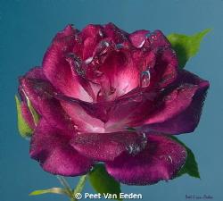 Underwater rose. Prevailing South Easter winds may force ... by Peet Van Eeden