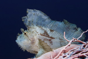 Jumping Sheet II  that smal Leaf Scorpionfish was on a ... by Jörg Menge