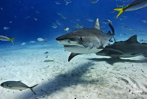 Tiger Shark at Tiger Beach gives me the eye. This Tiger S... by Steven Anderson
