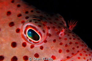 Hawkfish close-up, no crop by Stan Flachs