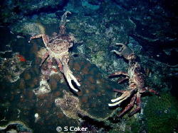 These 2 channel crabs look like they are fixing to see wh... by S Coker