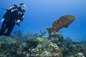 Friendly Grouper at Randy's Gazebo, Little Cayman. by Allan Vandeford