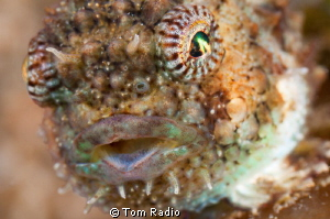 Spiny Pacific Lumpsucker Portrait