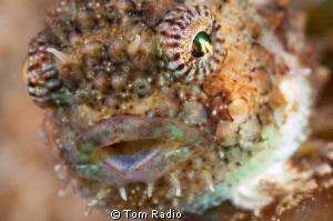 Spiny Pacific Lumpsucker Portrait Puget Sound, WA, U.S.A. by Tom Radio