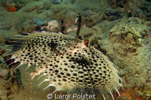 Flying Gurnard with his mast up.