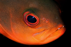 Ascension Island Creolefish by Paul Colley
