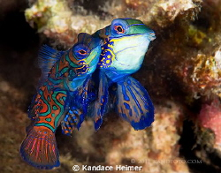 Mating mandarinfish were taken on a dusk dive in Lembeh S... by Kandace Heimer