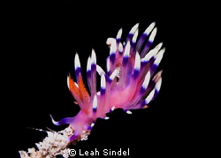 Flabellina on a limb by Leah Sindel