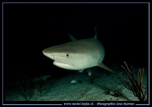 Tiger Shark during a night dive at Tiger Beach.... :O)... by Michel Lonfat