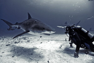 Tiger Shark passing thru at Hammertime Reef. This particu... by Steven Anderson