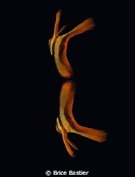 juvenile batfish reflection by Brice Bastier