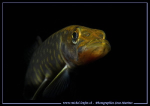 Juvenil Pike Fish... :O)... by Michel Lonfat