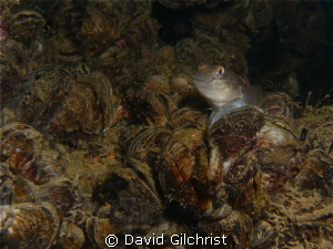 Round Goby on Zebra Mussels-off Port Weller, Lake Ontario... by David Gilchrist