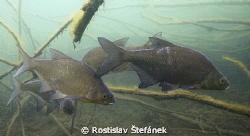 Abramis brama, realy shy fishes...(Photo for Viktor) by Rostislav Štefánek