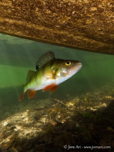 European perch (Perca fluviatilis) beneath a boat. by Jorn Ari