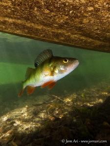 European perch (Perca fluviatilis) beneath a boat. by Jorn Ari