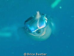 shy squid by Brice Bastier