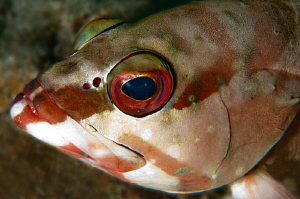 Red Sea Blacktip Grouper by Paul Colley