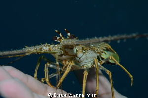 I found this baby lobster and let it sit on the end of my... by Dave Wasserman