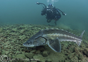 Russian sturgeon - Eccleston Delph, Jan 2012.
