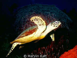 Large turtle just at dusk, Apo Island. by Marylin Batt