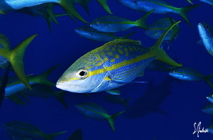 The other fish that has as much presence as the sharks at... by Steven Anderson