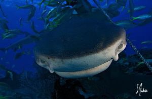 This Beautiful Tiger Shark tries for a closer look as she... by Steven Anderson
