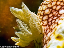 "Close up of ""gills"" of Chromodoris tinctura by Bill Van Eyk"