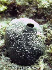 A Close-up of a sponge taken at Ronc Del Faro at 15m. Poo... by Ally Smith