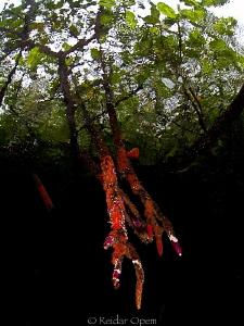 Mangroves by Reidar Opem