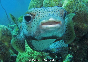 Very friendly porcupine fish at Capt Don's Reef on Klein ... by Robert Michaelson