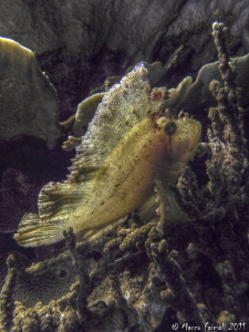 HDR of Leaf Scorpionfish by Marco Faimali