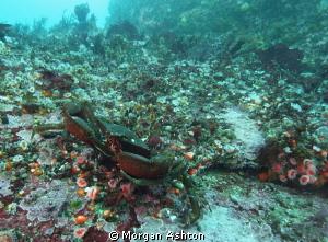 Rock Crab in Monterey. Sea and Sea DX-2G. by Morgan Ashton