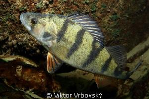 European perch (Perca fluviatilis) by Viktor Vrbovský