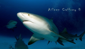 Bull Shark getting acquainted, Playa del Carmen by Aileen Caffrey