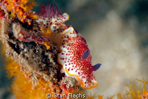 Chromodoris reticulata by Stan Flachs