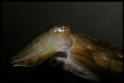 Cuttlefish off Ko Mook by Thomas Dinesen