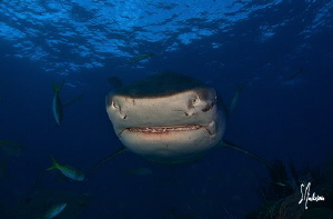 Diving in the Bahamas with sharks always provides plenty ... by Steven Anderson