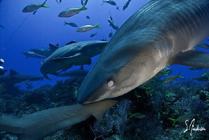 Protecting her eyes as this Tiger Shark noses around foll... by Steven Anderson