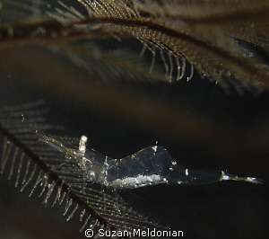Clear shrimp with eggs? or very full tummy :) hangin' on by Suzan Meldonian